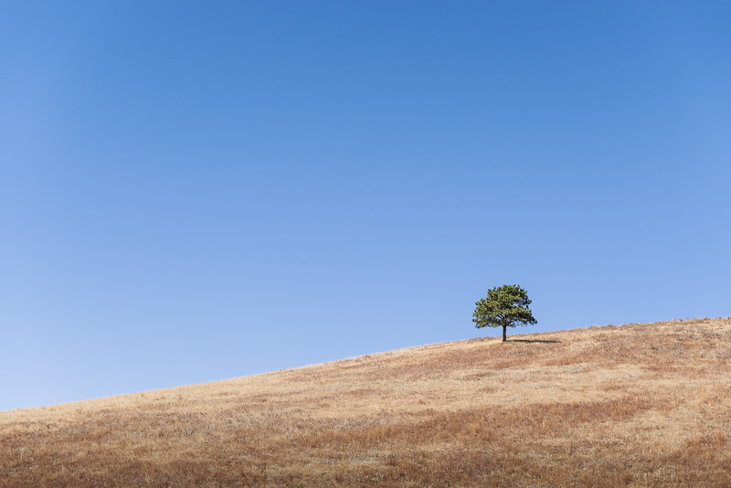 Lone Tree on Hillside in Custer State Park