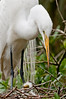 Someone to Watch Over Me: Great Egret and Chick at the Alligator Farm #1 04/14