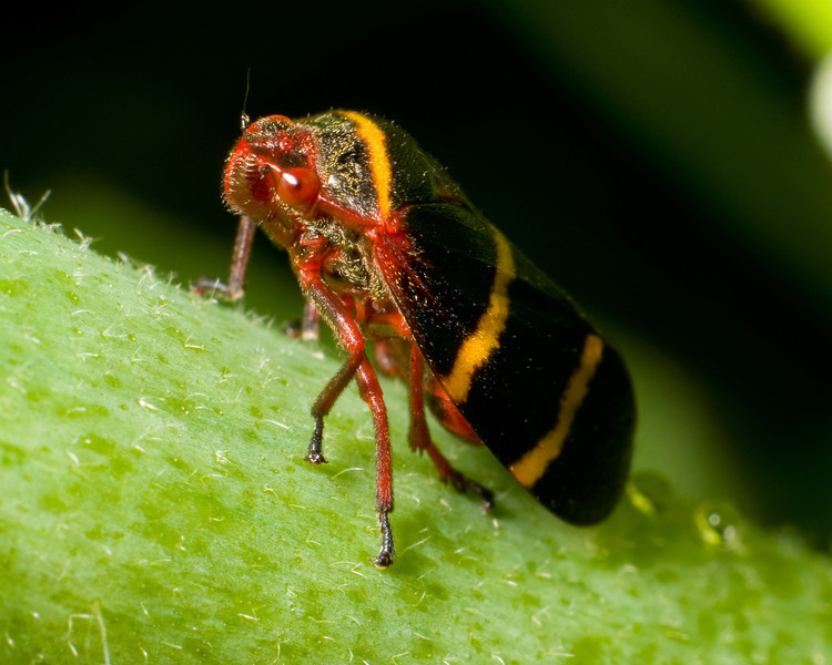 Two-Lined Spittle Bug C7760
