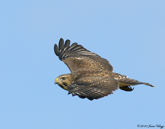 Broad-winged Hawk, Buteo platypterus