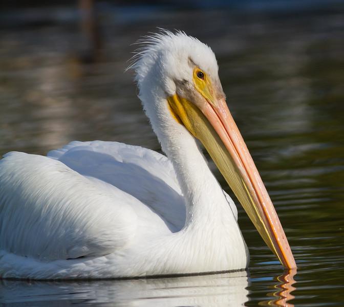 American White Pelican - Portrait - Shoreline Park, Mt. View, CA, USA