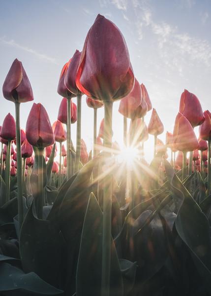 Tulips at Dawn