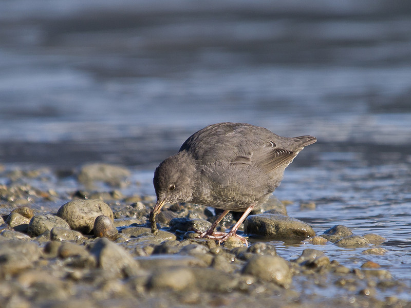 An American Dipper finds a meal near the Mendenhall Glacier.