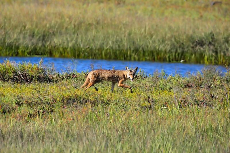 Coyote_At_Back_Bay_P8E9991.jpg