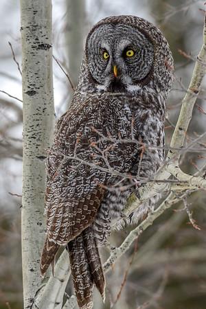 3-21-18 **Great Gray Owl - Flying