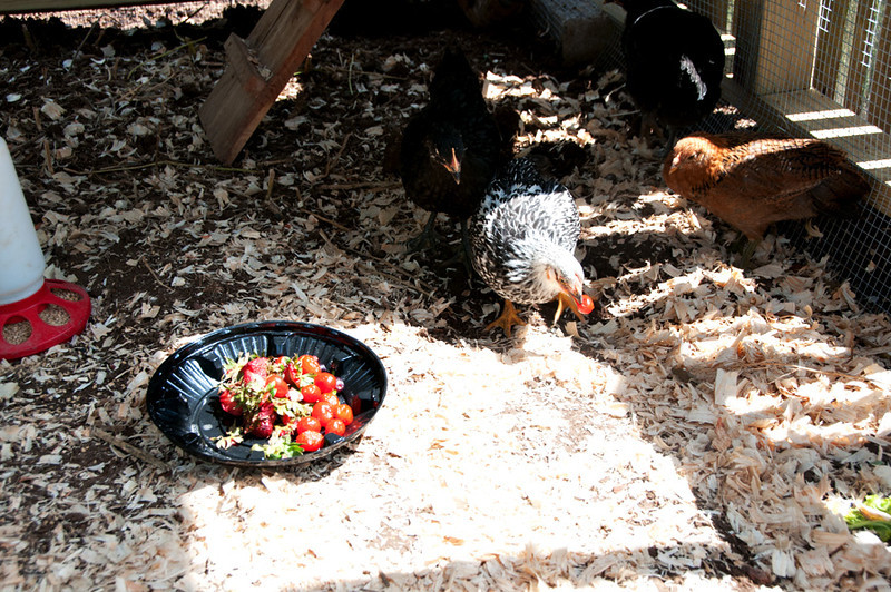 One fun activity has been to give the gals and 'afternoon treat.'  This time it was cherry tomatoes that were too old to use.