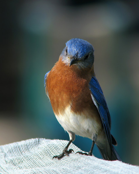 bluebird_9036.jpg