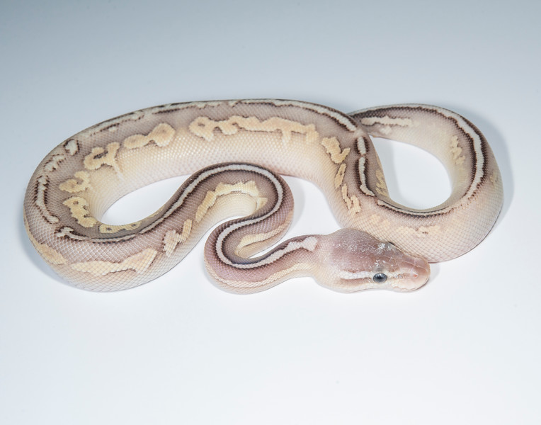 B2112, Male Pastel Leopard Cinnamon Lesser?