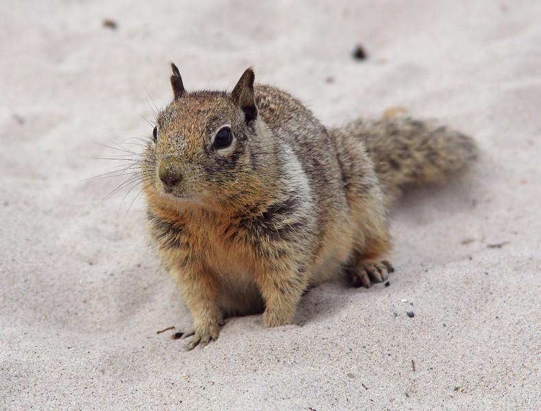 4637 Ground Squirrel.jpg