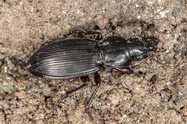 Plocamostethus planiusculus