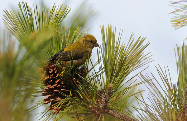 Crossbills at Jones Beach
