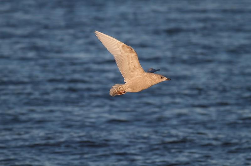 Iceland Gull Wisconsin Pt Superior WI IMG_5882.jpg