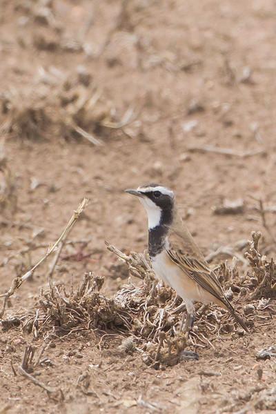 Capped Wheatear - Serengeti National Park, Tanzania