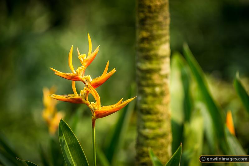 Heliconia, Botanic Gardens