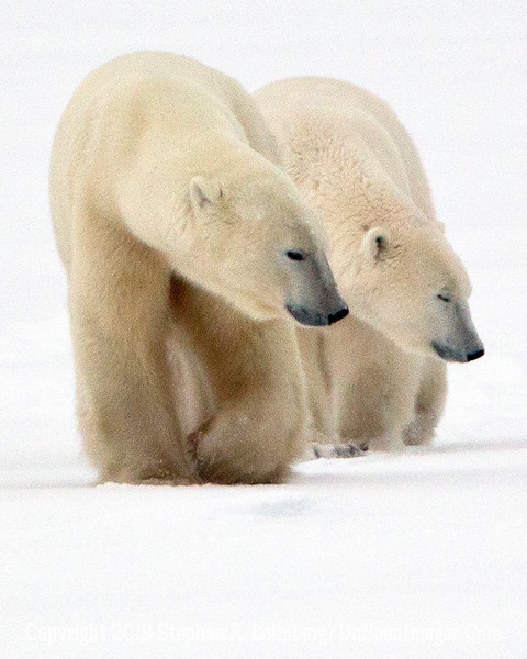 Polar Bears & Other Creatures of Churchill
