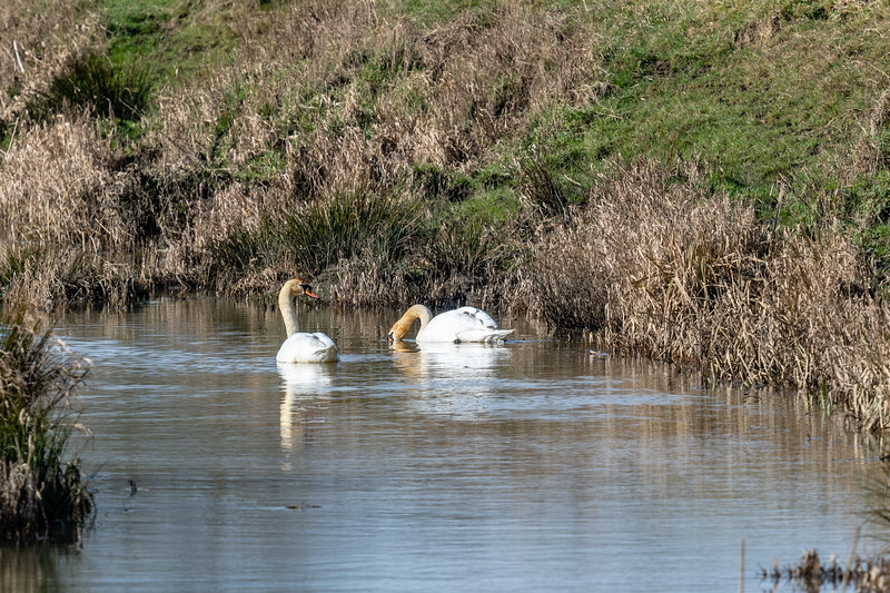 Swans-3.jpg