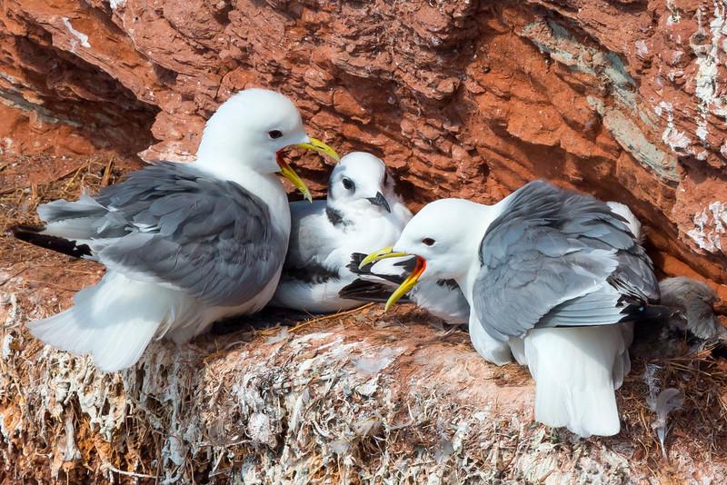 Fugle-Ride-RissaTridactyla-Helgoland-2014-07-05-_MG_8302-Danapix.jpg