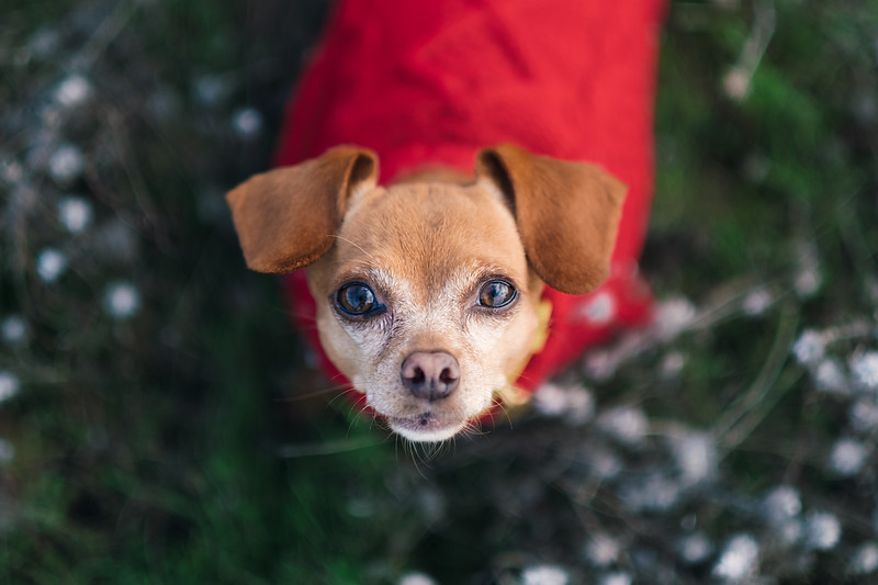Chihuahua in Red Sweater