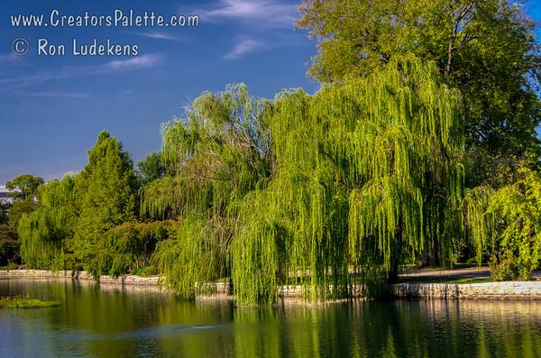 Salix babylonica (Babylonica Weeping Willow)