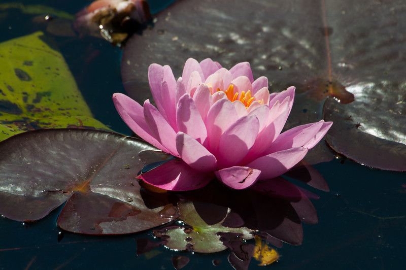 D7100 Pink Water Lily.jpg