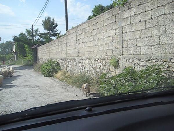sheep.avi