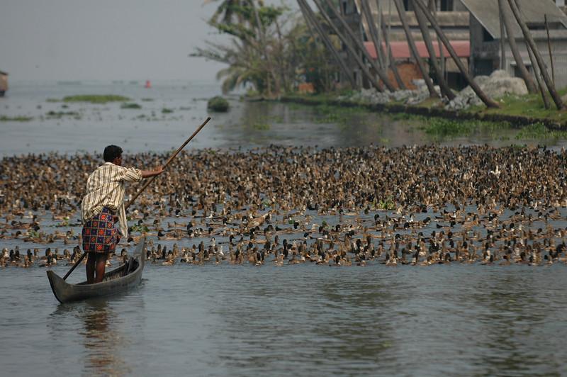 Duck herding along the backwaters of Kerala