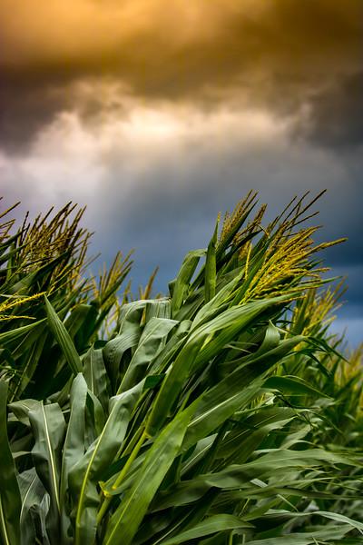 Storm Clouds over Corn Field, Minooka, Illinois