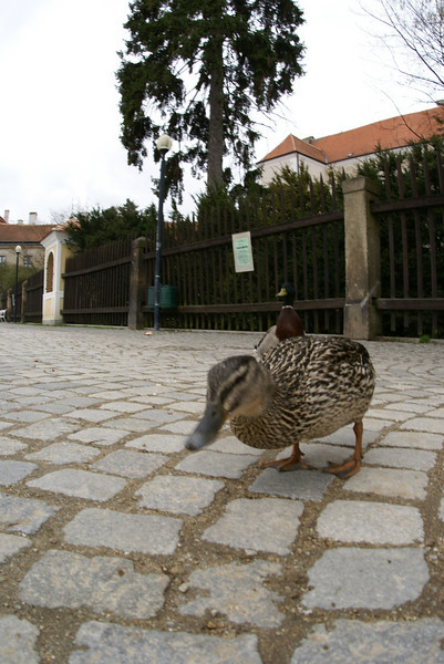 There are ducks in the Czech Republic.  I had to say hello.