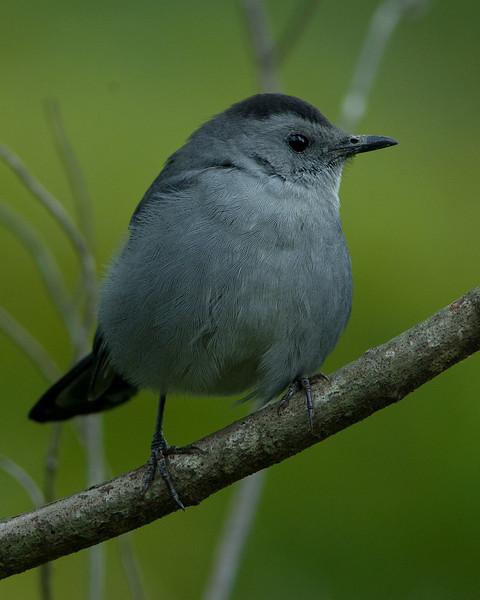 Grey Catbird  Huntley Meadows