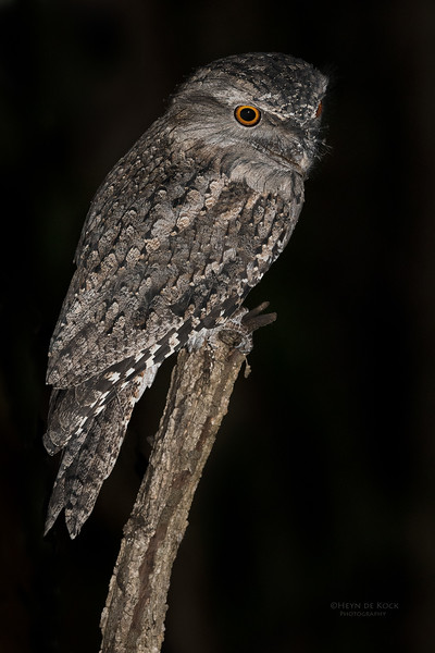 Tawny Frogmouth, Tallai, QLD, March 2017-1.jpg