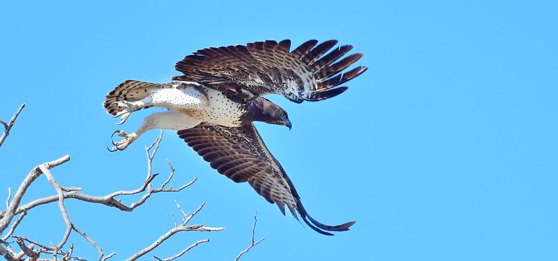 Martial Eagle Takeoff