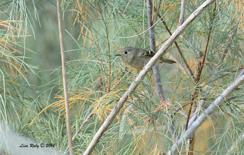 Ruby-crowned Kinglet - 2/2/2014 - Tamarisk Grove Campground