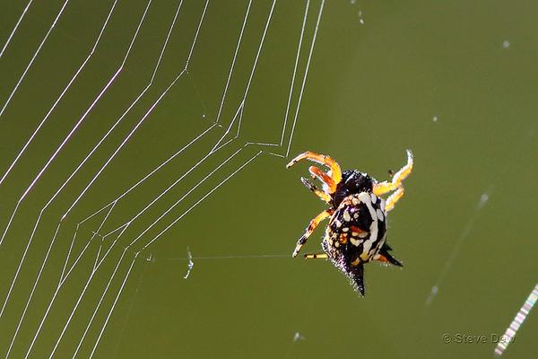Jewel Spiders