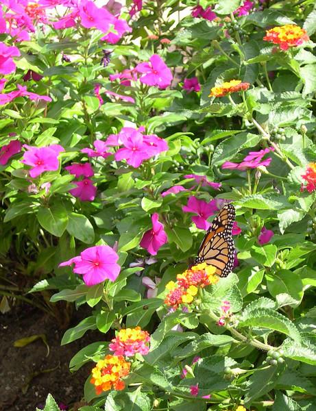 monarch432.jpg