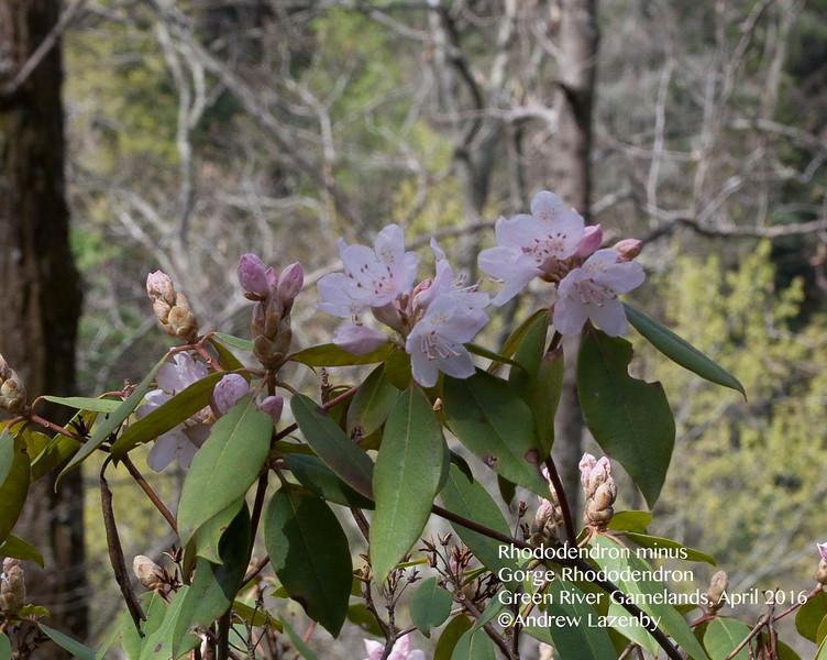 Rhododendron%20minus.jpg