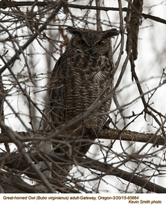 Great Horned Owl A65864.jpg
