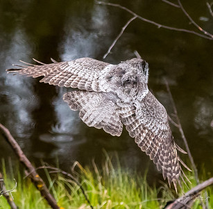 Great Grey Owls - Addendum   5-22-18