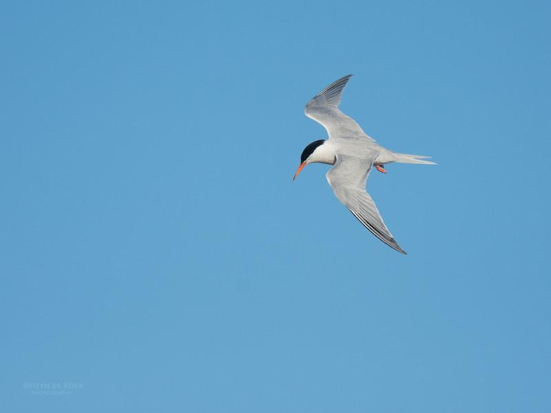 Roseate Tern, Lady Elliot Island, QLD, Dec 2015-18.jpg