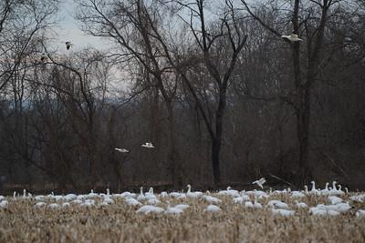 Snow Geese at Water Gap 03_13_19