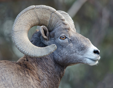 Big Horn Sheep and Bears