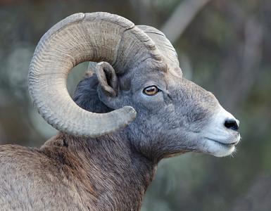 Big Horn Sheep and Bears