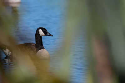 Canada Goose [Branta canadensis]