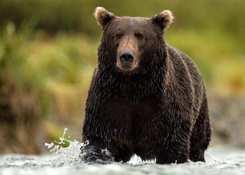 20140905-_Q2C0676Katmai-Bears-Kinak-Edit.jpg