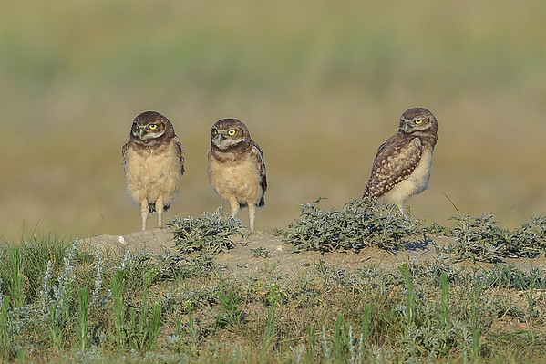 7-11-15 Burrowing Owls Part III