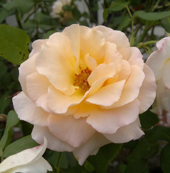 20120110_1137_139 rose