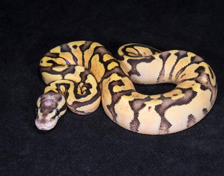 089FVP, female Vanilla Pastel, $150