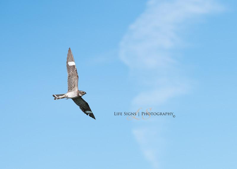 LS - Birds - Night Hawk.JPG