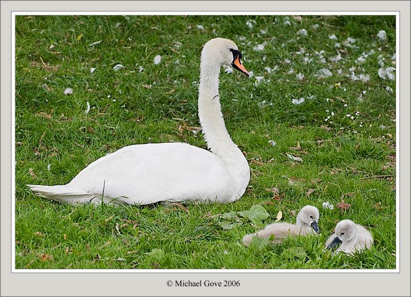 Swans (61667443).jpg