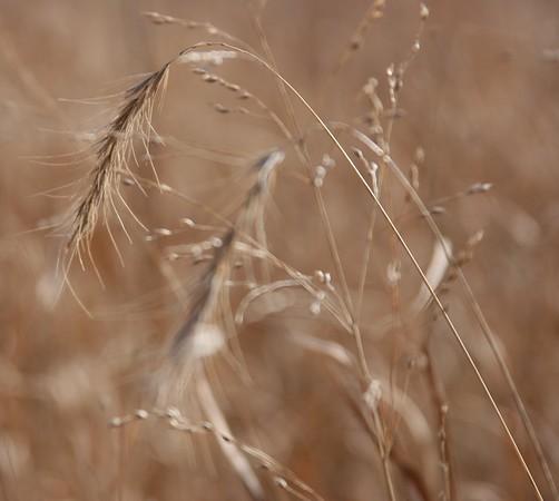 Grass Awn Photos