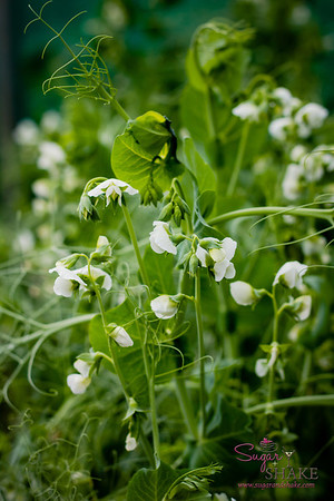 Our first time ever seeing English pea plants. They're so pretty! © 2013 Sugar + Shake